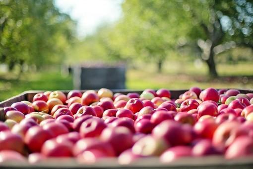 cassetta di mele raccolte in agricoltura biologica