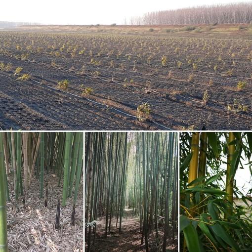 Il Canavese cambia la sua vocazione e punta su canapa e bambù