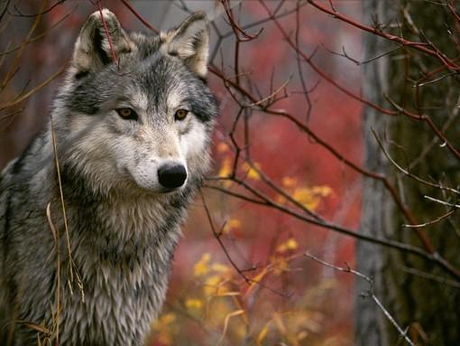"""Bongioanni (FdI): """"Tuteliamo chi vive e lavora in montagna. La Regione deve ridisegnare il sistema di rimborso danni a favore degli operatori danneggiati dagli attacchi dei lupi"""""""
