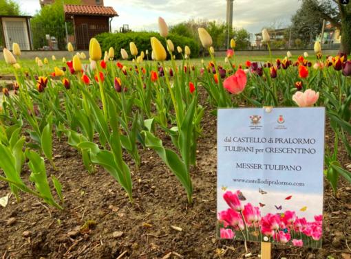 """Il parco di Crescentino si riempie di colore: sbocciati i fiori di """"Messer Tulipano"""""""